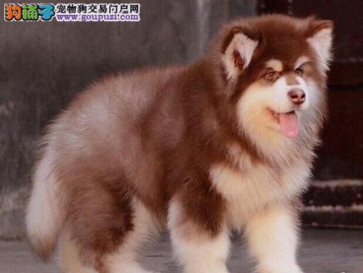 极品阿拉斯加雪橇犬出售
