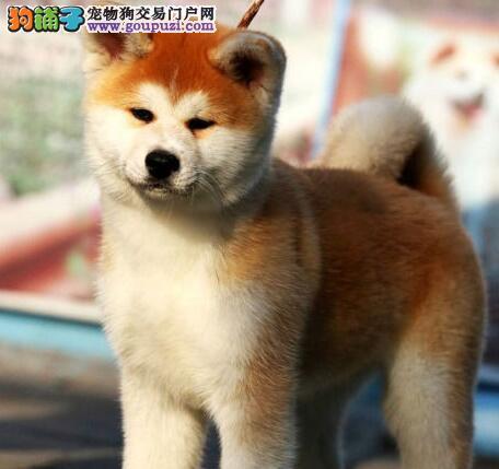 出售顶级日系美系的鞍山秋田犬 三个月内包退换货