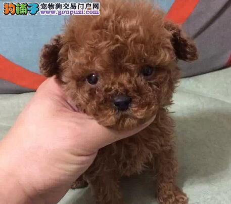 出售自家红棕贵宾犬,毛量好,颜色好,纯种