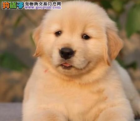 中山犬舍出售大头大骨架的金毛犬 健康没有任何问题