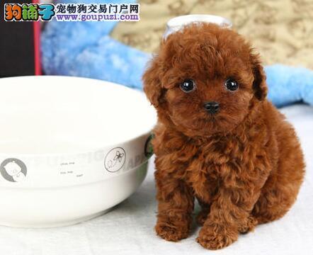 泉州最大犬舍出售精品泰迪犬 已经驱虫可签订健康协议
