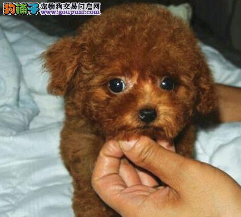 完美品相血统纯正天津贵宾犬出售喜欢加微信可签署协议