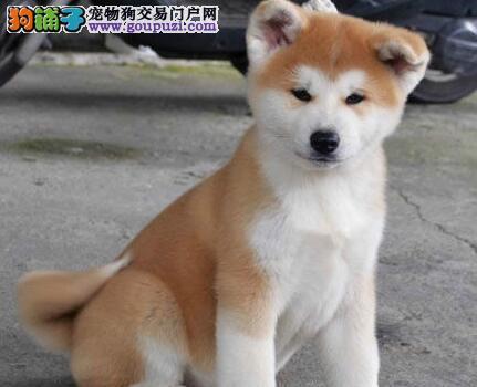 杭州哪里有卖秋田犬杭州哪里有卖柴犬杭州秋田