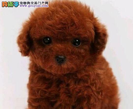 专业正规犬舍热卖优秀的泰迪犬我们承诺终身免费售后