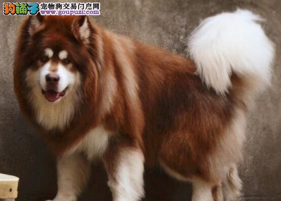 连云港家养赛级阿拉斯加犬宝宝品质纯正保终身送用品