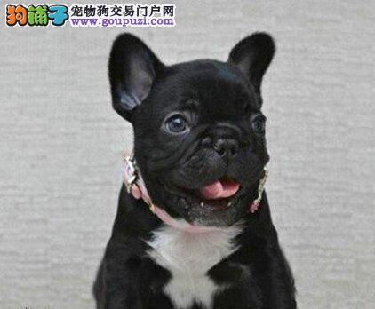 出售纯种健康的法国斗牛犬幼犬赠送全套宠物用品