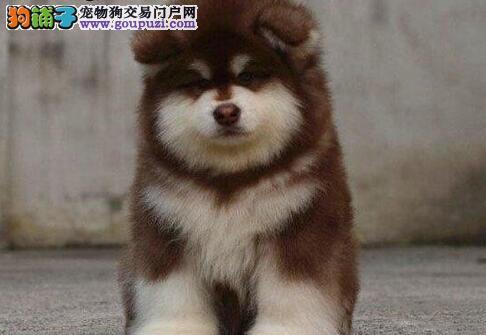 帅气的阿拉斯加雪橇犬宝宝太原特价出售 超萌超可爱