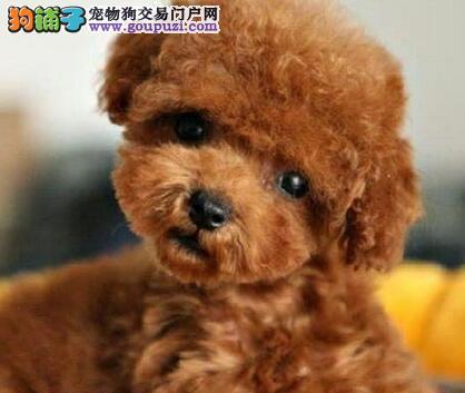 超小的茶杯泰迪犬 茶杯泰迪犬照片 茶杯泰迪犬买卖