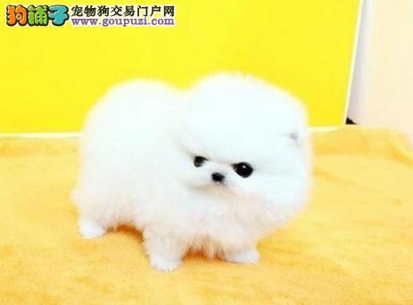 哈多利球形可爱健康的博美犬热卖中 海口市内可送货