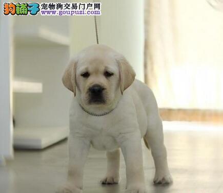 专业繁殖纯种的台州拉布拉多幼犬找新家 签售后协议