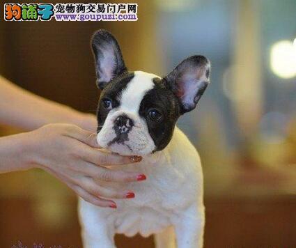 张家口繁殖基地出售多种颜色的法国斗牛犬微信咨询看狗狗视频