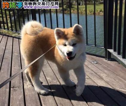 品质极佳身体健康的秋田犬热卖中 珠海市内免费送货