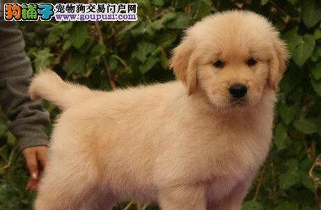 杭州正规犬舍繁殖纯种金毛犬 头版好毛色亮 品相极佳