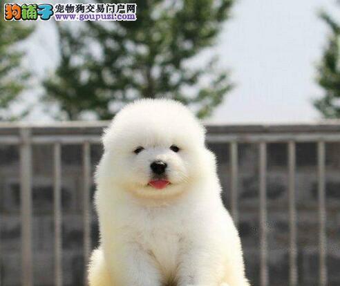萨摩耶幼崽出售中、CKU认证犬舍、签协议可送货