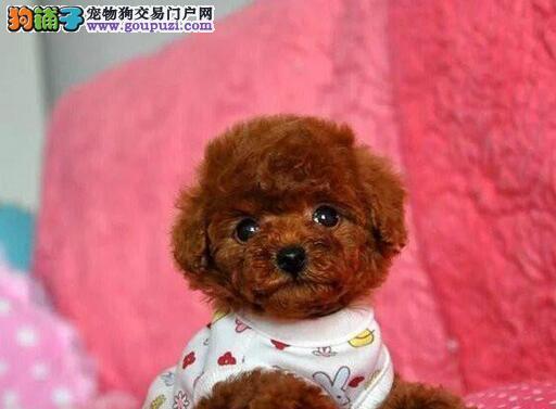 纯种贵宾犬宝宝郑州地区找主人国际血统证书