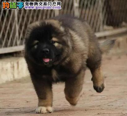 纯种健康的上海高加索犬火爆热卖中 数量有限不要错过