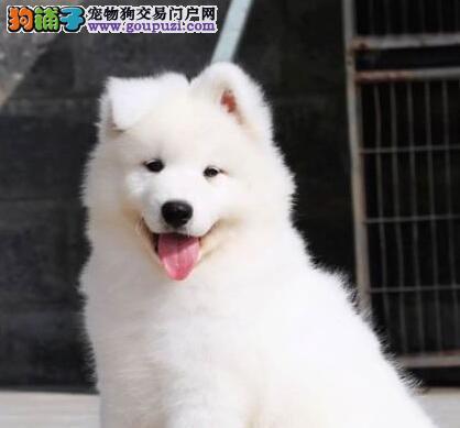赛级品相邢台萨摩耶幼犬低价出售微信选狗直接视频