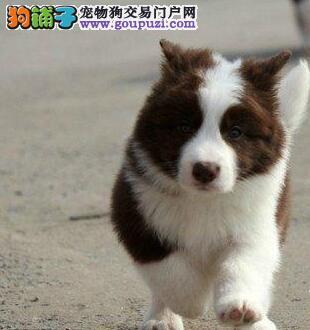 家养顶级品质边境牧羊犬广州市区内可免费送货