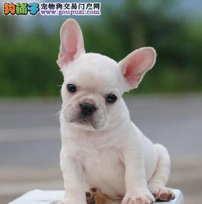 杭州正规狗场多个品种斗牛犬促销中质量三包
