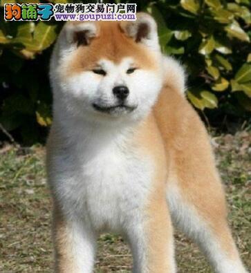 秋田犬纯种健康保证品质CKU认证