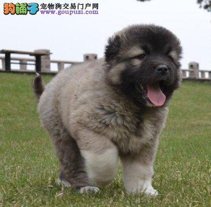 纯种熊脸巨型高加索幼犬出售,骨架粗壮