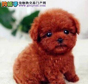 权威机构认证犬舍 专业培育泰迪犬幼犬签订终身纯种健康协议