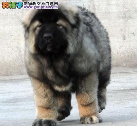 名犬后代霸气的高加索犬优惠出售中 仅限贵阳朋友选