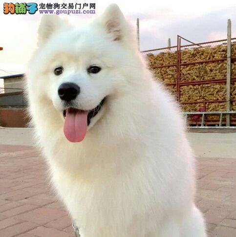 重庆最大的萨摩耶基地 完美售后品质血统售后均有保障