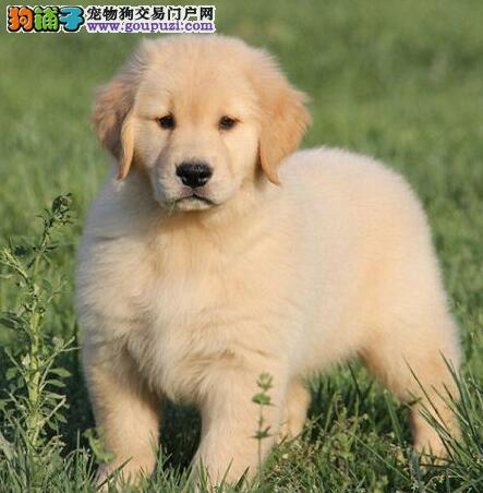 繁育基地出售纯种烟台金毛犬保证健康