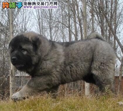 自家繁育精品黄浦高加索犬质保出售可见父母