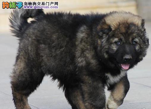 出售来自冠军后代极品,纯种健康凶猛霸气的高加索幼犬