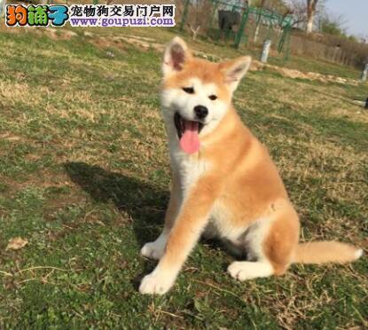 狗场出售顶级秋田犬烟台市区购犬可办理血统证书