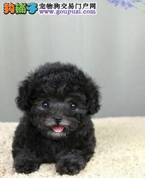 出售纯种 贵宾犬  白色贵宾犬 保证健康3个月退换