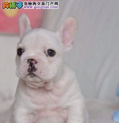 纯血统法国斗牛犬幼犬 公母均有多只选择 提供养护指导