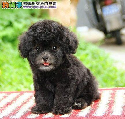 泰迪犬幼崽出售中、假一赔十品质第一、绝对信誉保证