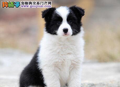 天津出售边境牧羊犬幼犬七白到位 品质极佳 可亲自挑选
