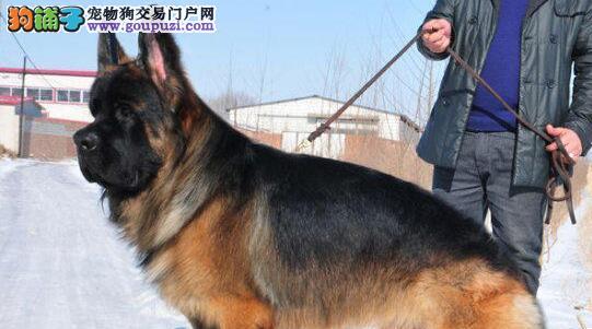 赛级品相重庆德国牧羊犬幼犬低价出售优惠出售中狗贩子勿扰