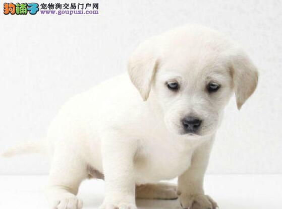 大骨量的海口拉布拉多犬出售中 签合同保三年健康