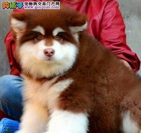 纯种成都阿拉斯加雪橇犬特价出售可签订活体销售协议