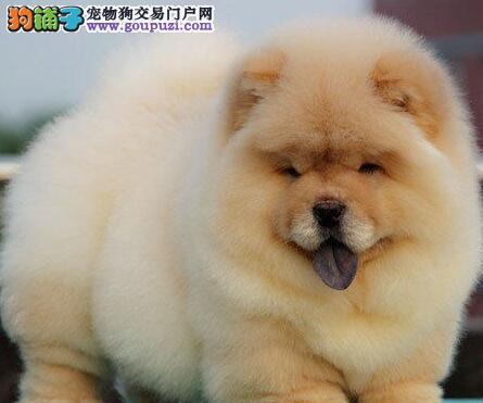 广州松狮犬小狗 广州哪里有卖松狮犬 广州宠物狗