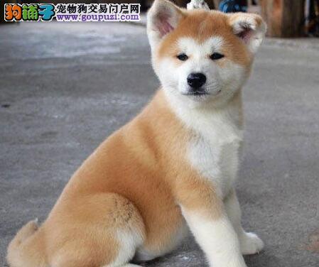 北京顶级秋田犬 日本秋田犬 种犬八公 双血统赛级
