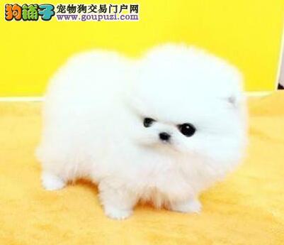 呼和浩特知名犬舍出售哈多利血系的博美犬 请放心选购