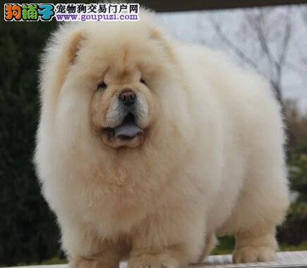 出售憨厚忠诚胖胖可爱松狮幼犬 便宜卖可上门看狗