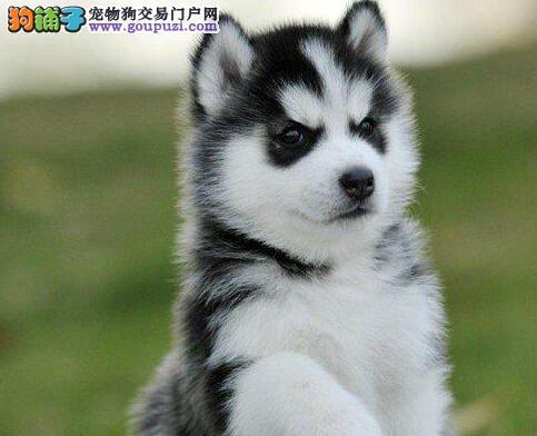 呼和浩特正规狗场出售高品质的哈士奇幼犬 狗贩子勿扰