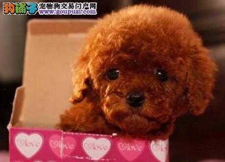 呼和浩特繁殖基地出售多种颜色的泰迪犬 保证品质血统