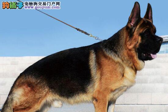 出售德国牧羊犬幼犬品质好有保障微信视频看狗