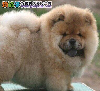 肉嘴品相的松狮犬找新的爸爸妈妈 仅限温州朋友选购
