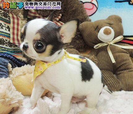 重庆哪里有卖吉娃娃犬的 重庆吉娃娃多少钱