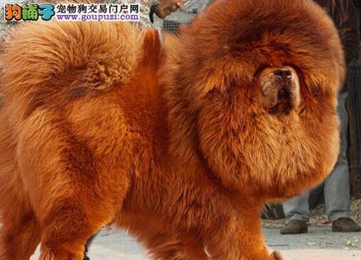 权威机构认证犬舍 专业培育藏獒幼犬国际血统认证