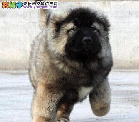 出售顶级极品赛季高加索幼犬啦
